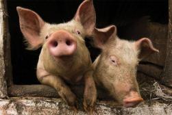 2 Pigs $50